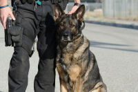 Police Dogs Bite Someone More Than Once a Week in Indianapolis